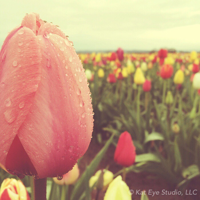 Tulip Festival Woodburn Oregon Kat Sloma Photography