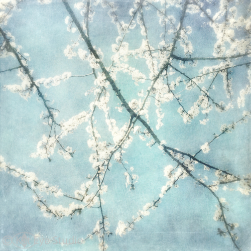 Spring Tree Blossom Blue White Oregon Kat Sloma iPhone Mobile Phtoography